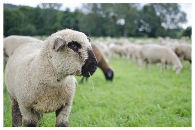 South-Atlantic Transitional Sheep Pasture