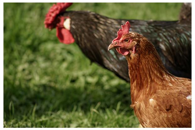 South-Atlantic Transitional Poultry Blend