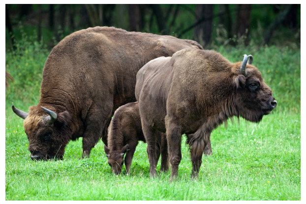 Southern Subtropics Bison Forage Blend