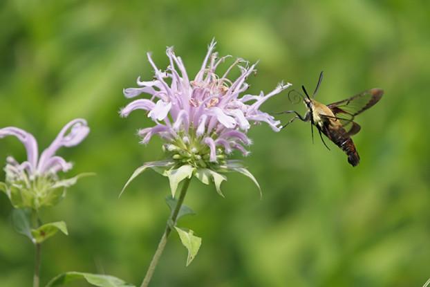 Southern Subtropics Pollinator Blend