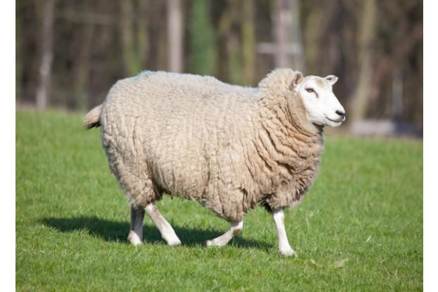 Southern Subtropics Sheep Pasture
