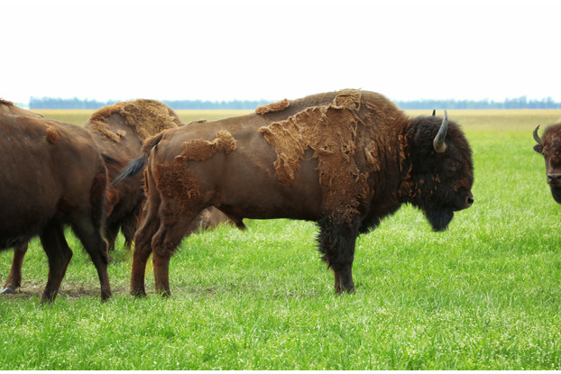 Southwest Semi-Arid Steppe Bison Forage Blend