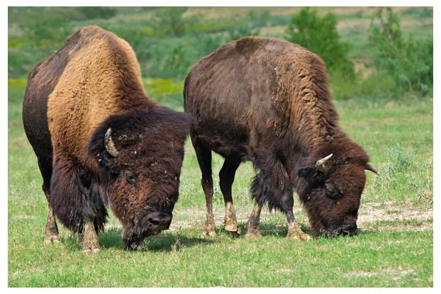 Southwest Transitional Bison Forage Blend