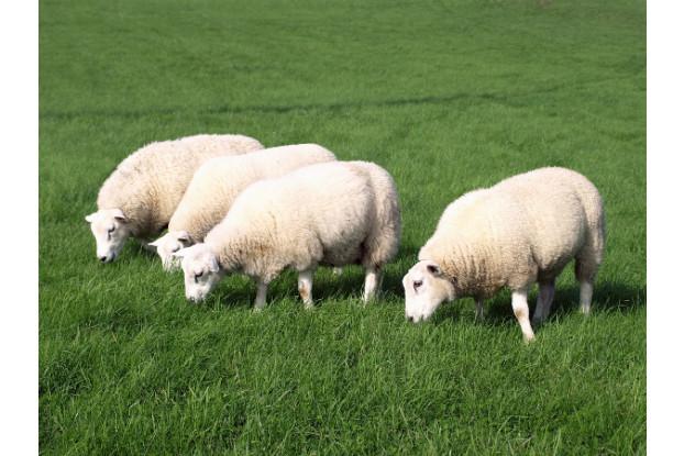 Southwest Transitional Sheep Pasture