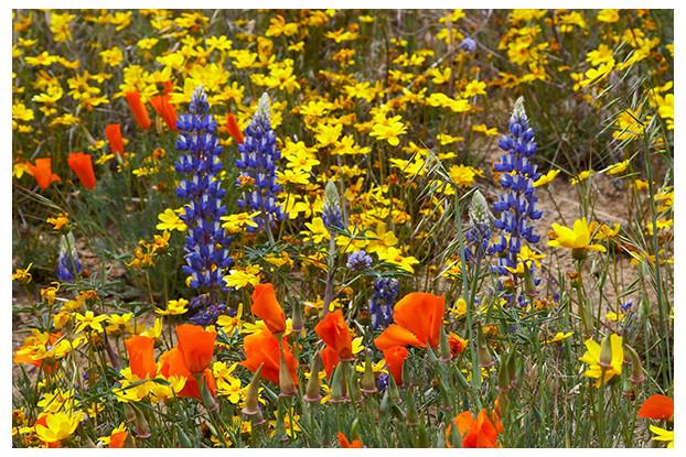 Southwest Wildflower Blend