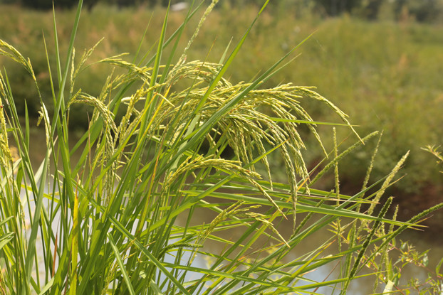 Streambank Wheatgrass