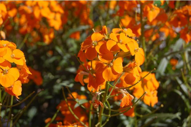 Wallflower (Cheiranthus allionii)