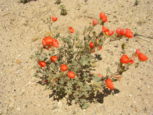Desert Globemallow Wildflower Seeds Nature S Seed