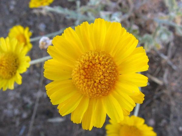 Desert Marigold Nature S Seed