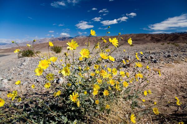 Desert Sunflower Nature S Seed