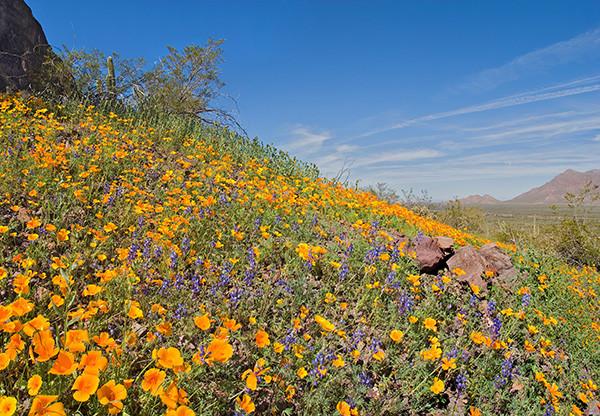 Sonoran Desert Wildflower Blend Nature S Seed