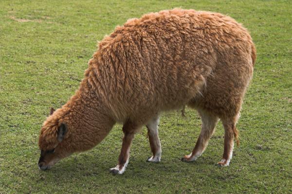 Southwest Desert Alpaca Llama Forage Blend Nature S Seed