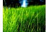 Fine Fescue Grass