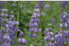 Arroyo Lupine Nature S Seed