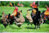 Pacific Southwest Poultry Blend