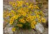 Heliomeris multiflora