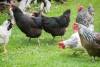 Southern Subtropics Poultry Blend