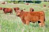 Southwest Desert Beef Cattle Pasture