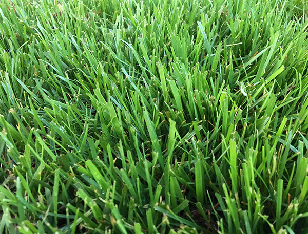 Triple-Play Tall Fescue Seed Blend