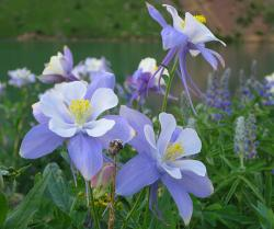 Colorado Columbine: Our Most Popular Wildflower of 2015