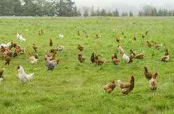 Pastured Poultry: What Kind of Forages Should Your Chickens Be Grazing On?