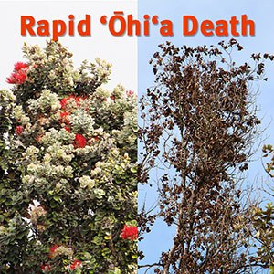 ōhi'a tree death before and after