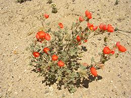 Desert Globemallow1