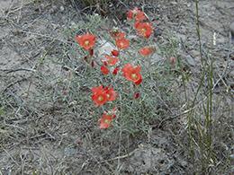 Scarlet Globemallow1