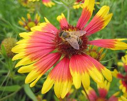 bee on firewheel by arripay