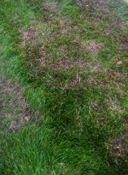 bermudagrass in bluegrass lawn
