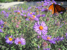 butterfly on aster by Elizabeth Cunningham Perkins