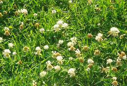 clover in lawn grass
