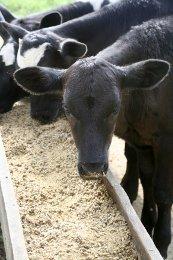 cow eating grain