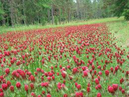 crimson clover food plot by Florida Fish and Wildlife