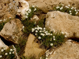 desert daisy in rocks