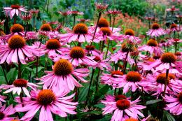echinacea mass planting