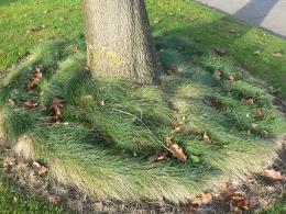 fine fescue by OSU Master Gardener