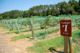 ground cover in vineyard by Southern Foodways Alliance