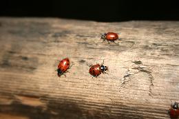 ladybugs on wood by Caitlinator