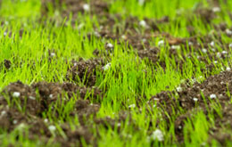 new lawn grass seedlings