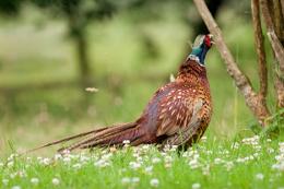 pheasant_intermountain west1