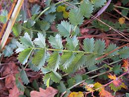salad burnet leaf by Harry Rose